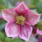 Helleborus x hybridus Harvington pink speckled (Lenten rose hellebore)
