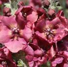 Verbascum 'Cherry Helen' (PBR) (mullein)