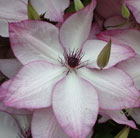 Clematis 'Fond Memories' (clematis (group 3))