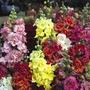 Spring Plants - Antirrhinum Madame Butterfly - 36 Postie Plug Plants