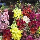 Spring Plants - Antirrhinum Madame Butterfly - 72 Postie Plug Plants
