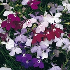 Lobelia Cascade - 42 Mixed Plug Plants