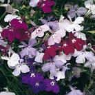Lobelia Cascade - 84 Mixed Plug Plants