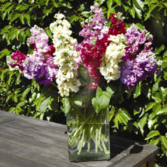 Spring Plants-Stocks Tall Clove Scented Mix - 36 Postie Plug Plants
