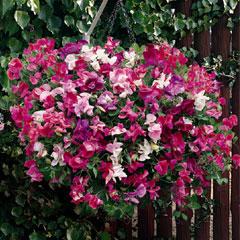 Spring Plants-Sweet Pea Cascading Sugar n Spice - 36 Postie Plug Plants