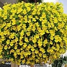 Mimulus Vortex Yellow Plants