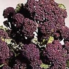 Broccoli (Sprouting) Rudolph Seeds