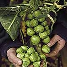 Brussels Sprouts F1 Brigitte Seeds