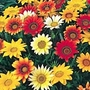 Gazania Daybreak Mix Plants