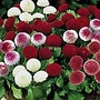 Bellis perennia Spring Star Mix