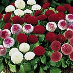 Bellis perennis Spring Star Mix