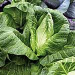 Cabbage F1 Hispi Seeds