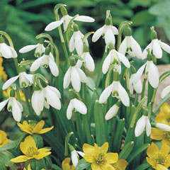 Single Snowdrops Bulb - Pack of 75 Bulbs In The Green