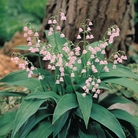 Spring Plants - Lily of the Valley Pink Bulbs - Pack of 6 Pips