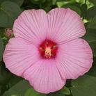 Hibiscus Newbiscus - 2 Bareroot Plants