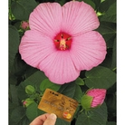 Hibiscus Newbiscus - 2 Plants