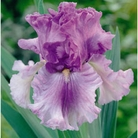 Bearded Iris Collection - 12 Bareroot Plants