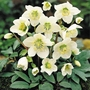 Hellebore Niger - 10 Bareroot Plants