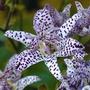 Toad Lily Bulb - 3 Plug Plants