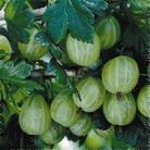 Gooseberry - 5 Bareroot Plants