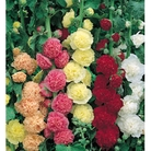 Hollyhock Chaters Double - 5 Plug Plants