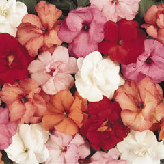 Impatiens Double Fanciful - 60 Mixed Plug Plants