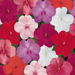 Impatiens Dezire - 60 Mixed Plug Plants