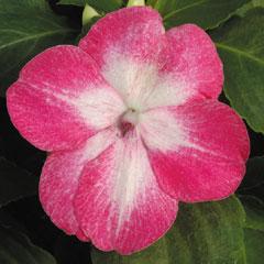 Impatiens Dezire Starburst Rose - 60 Plug Plants