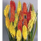 Red Hot Poker - 5 Plug Plants