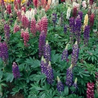 Lupin Gallery Mix - 5 Plug Plants