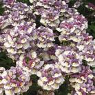 Nemesia Berries & Cream - 5 Plug Plants