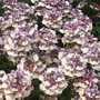 Nemesia Berries & Cream - 5 Plug Plants