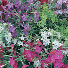 Nicotiana Malibu - 60 Mixed Plug Plants