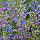 Penstemon Electric Blue - 5 Plug Plants