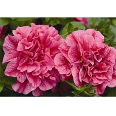 Petunia Tumbelina Clara - 5 Plug Plants