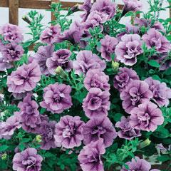 Petunia Tumbelina Priscilla - 5 Plug Plants