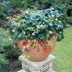 Strawberry Temptation - 5 Plants