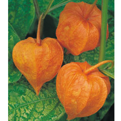 Physalis - 5 Bareroot Plants