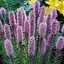 Liatris - 5 Bareroot Plants