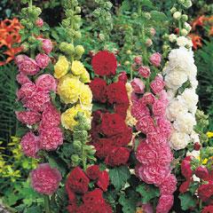 Hollyhock - 5 Bareroot Plants