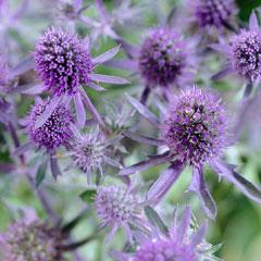 Eryngium - 5 Bareroot Plants