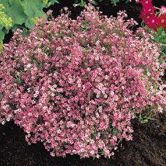Gypsophila Rosea - 5 Bareroot Plants