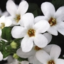 Bacopa White - 5 Plug Plants