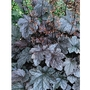 Heuchera Ring of Fire 5 Plug Plants