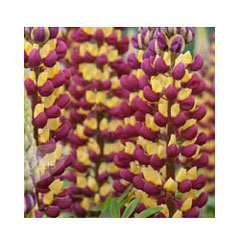 Lupin Manhattan - 5 Plug Plants