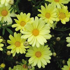 Marguerites Butterfly - 5 Plug Plants