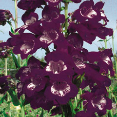 Penstemon Plum Jerkum - 5 Plug Plants