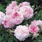David Austin Rose - Rosemoor