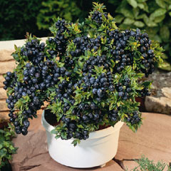 Blueberry Top Hat  - 2 Plants plus 1 Free