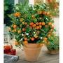 Orange Tree - 1 Plant